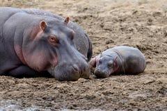 Hippo family Hippopotamus amphibius Royalty Free Stock Photos