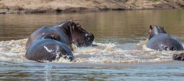 Hippo Hippopotamus amphibius in the river royalty free stock photos