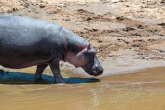 Hippo Hippopotamus amphibius in the river royalty free stock images