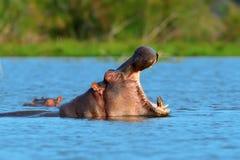 Hippo family Hippopotamus amphibius royalty free stock image