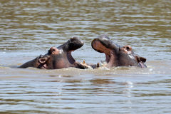 Hippo family Hippopotamus amphibius Royalty Free Stock Images