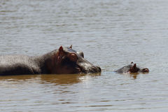 Hippo family Hippopotamus amphibius Stock Photography