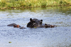 Hippo family keeping cool Stock Image