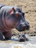 Hippo family. Kenya, Africa Royalty Free Stock Images