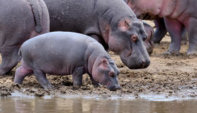 Hippo family. Kenya, Africa Stock Image