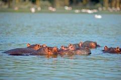 Hippo. Family in the morning light of kenya Stock Photo