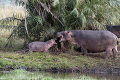Hippo family Stock Photos