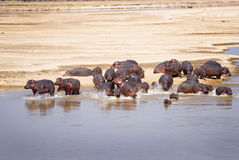 Hippo Family Stock Photos