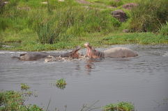 Hippo fight Stock Photography