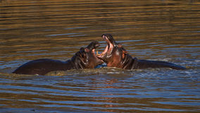Hippo fight. These two hippos were spotted having a teritorial fight in a dam in the kruger national park south africa. hippos are very dangerous and more Stock Photo