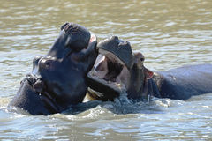 Hippo fight wildlife animals challenge fight mouths wide open at waterhole. At masi mara national park Stock Photography
