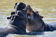 Hippo fight wildlife animals challenge fight mouths wide open at waterhole. At masi mara national park Royalty Free Stock Photography