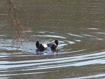 Hippo floating in Zambezi river stock video footage
