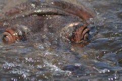 hippo Flotando en el agua un animal grande Imagenes de archivo