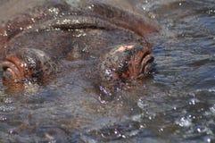 hippo Flotando en el agua un animal grande Fotografía de archivo