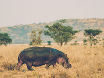 Hippo and friend Royalty Free Stock Image