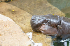Hippo. Giant Hippopotamus rest and sleeping in the water Stock Images
