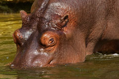 Hippo going into the water Royalty Free Stock Photos