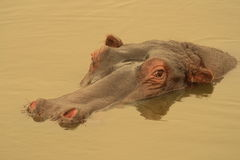 Hippo on golden pond. Royalty Free Stock Photography