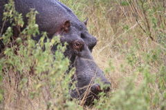 Hippo in the grass Stock Image