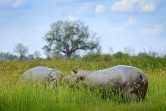 Hippo in the grass, wet green season. African Hippopotamus, Hippopotamus amphibius capensis, , Okavango delta, Moremi, Botswana. stock photo
