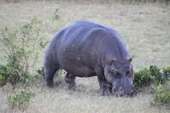 Hippo grazing grass on the savanna stock image