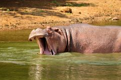 Hippo grunting Stock Photography