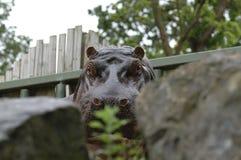 Hippo Head Stock Image
