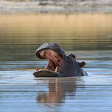 Hippo head above water Africa Stock Images