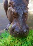 Hippo head closeup Royalty Free Stock Photography