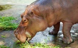 Hippo head closeup Stock Images