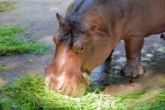 Hippo head closeup Stock Photos