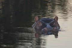 Hippo Head Reflections at Dusk Stock Photos