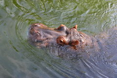 Hippo. Head of a hippo in the water Stock Photo