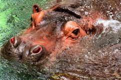 The Hippo head in water Stock Photography