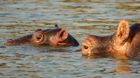 Hippo head in water stick out of river wet Royalty Free Stock Image
