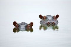Hippo heads. Partial Hippo faces showing above smooth water; Hippopotamus amphibius; South Africa Royalty Free Stock Photography
