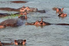Hippo Heads Popping Up. A group of Hippopotamusses with their heads just raised above the water while feeding royalty free stock photos