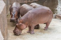The hippo is the heaviest land animal after the elephant. Hippos seek refuge from the heat by living in water during the day Royalty Free Stock Image