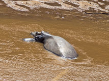 Hippo with her baby asleep in the water. Close to the shore Royalty Free Stock Photos