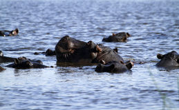 Hippo Herd Royalty Free Stock Photos