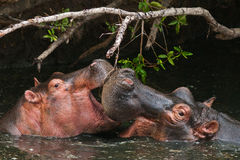 Hippo. Herd water river africa baby lake  muzzle savannah Royalty Free Stock Image