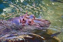 Hippo in het water royalty-vrije stock foto's