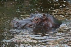 Hippo in het water Stock Afbeelding