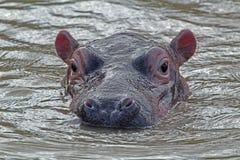 Hippo in het water, iSimangaliso Nationaal Park, Zuid-Afrika stock afbeeldingen
