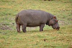 Hippo het weiden in Botswana Royalty-vrije Stock Afbeeldingen