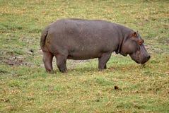 Hippo het weiden in Botswana Stock Afbeeldingen