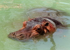 Hippo hippopotamus amphibian wild closeup portrait swimming in water Stock Images