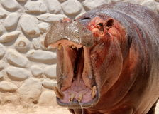 Hippo hippopotamus amphibian yawn open mouth jaws wild closeup headshot portrait Stock Photo