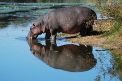 Hippo (Hippopotamus amphibius). The hippopotamus (Hippopotamus amphibius) or hippo is a large, mostly plant-eating African mammal, one of only two extant species stock image